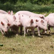 Herd of piglets on animal farm
