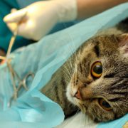 Surgical sterilisation of cat