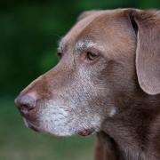 Old dog Noah