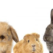 Rabbits and guinea pig