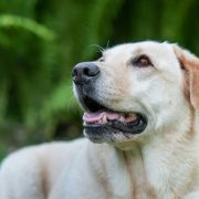 portrait of a golden retriver on a blurry green background
