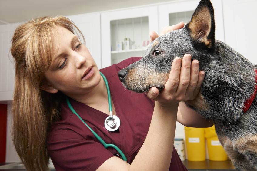 Female Vet Examining Dog In Surgery