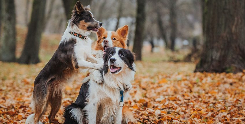 Border collie dogs playing in the park