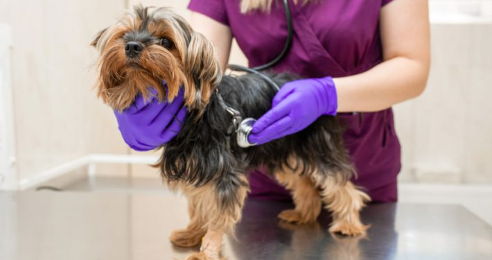 Vet in the clinic examine with stethoscope a dog breed Yorkshire terrier