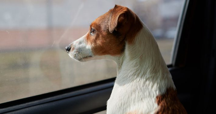 Dog Jack Russell Terrier looks curiously at the car window