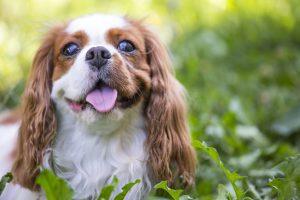 Cavalier Charles Spaniel dog