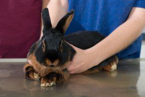 Vet examine rabbit in clinic