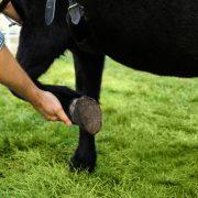 Vet examine horse hoof