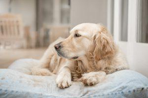 A Golden Retriever lying on a bed